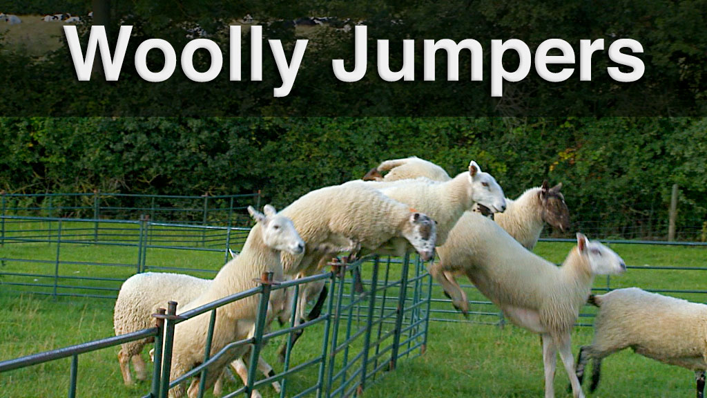 Sheep jumping over hurdles during a training session