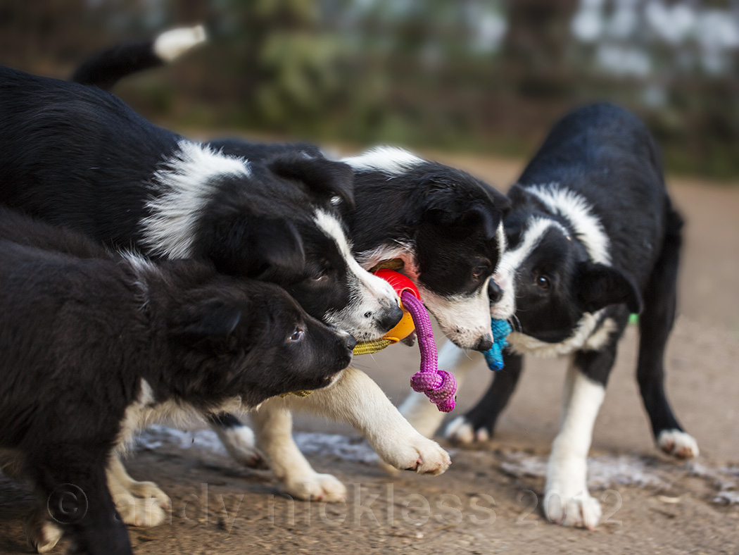 A puppy and three other young border collie sheepdogs playing tug of war