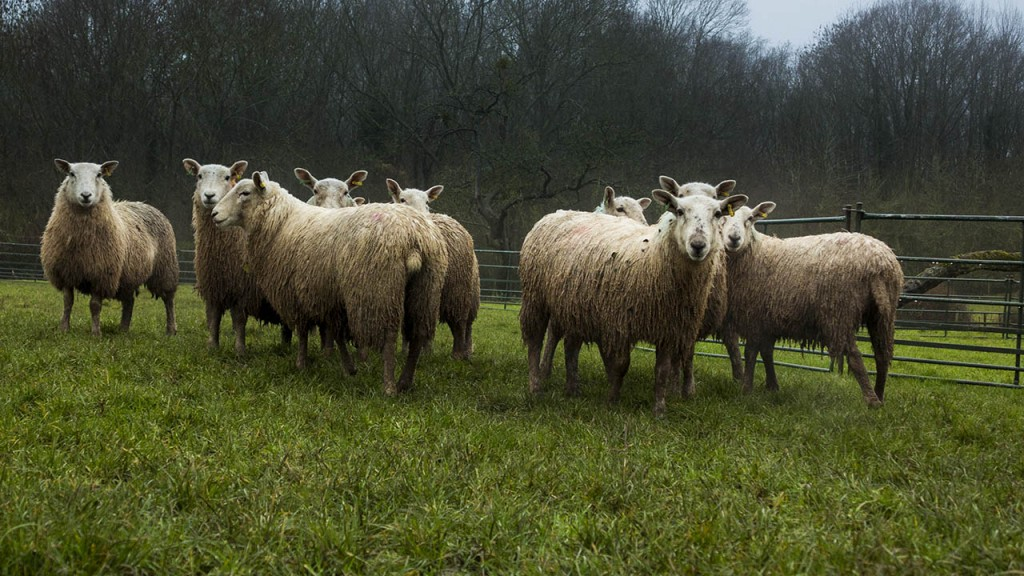 Rain soaked sheep in a wet field