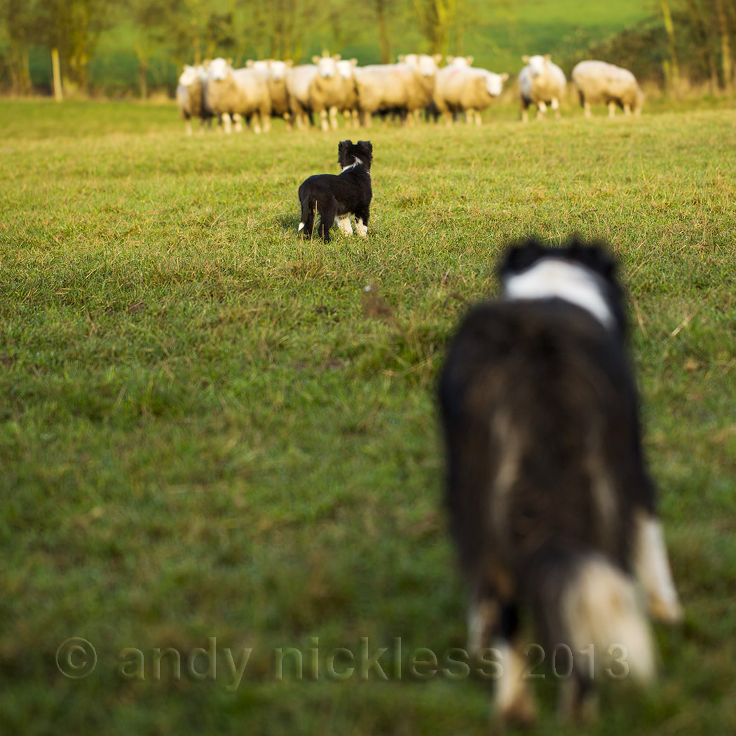 Introducing a young puppy to sheep with a trained dog keeping watch