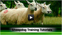 Close-up of sheep with title - Sheepdog Training Tutorials