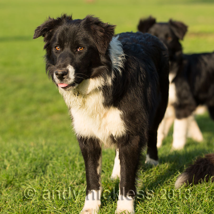 Started working dog for cattle or sheep and farm work