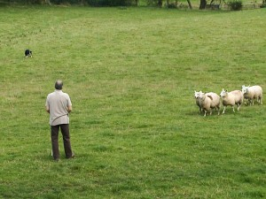 Training a dog to herd sheep - giving the sheep plenty of space