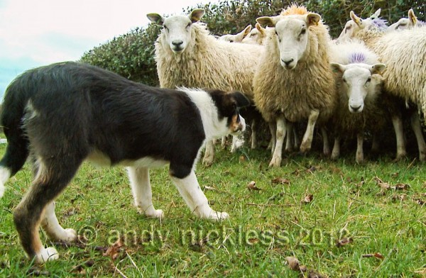 A brave sheepdog puppy facing up to sheep