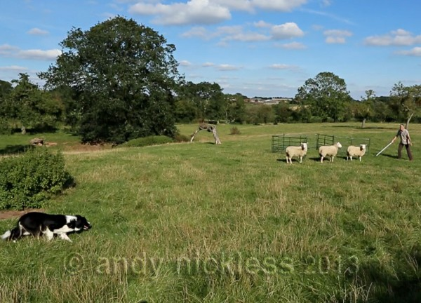 This trainee sheepdog is keeping well back, making sheep control much easier