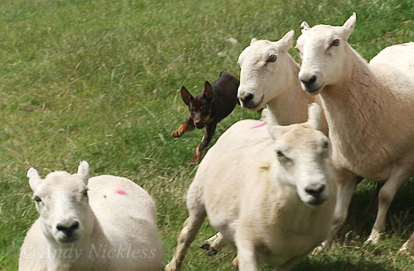 Kelpie Red chasing sheep at his home near Brecon