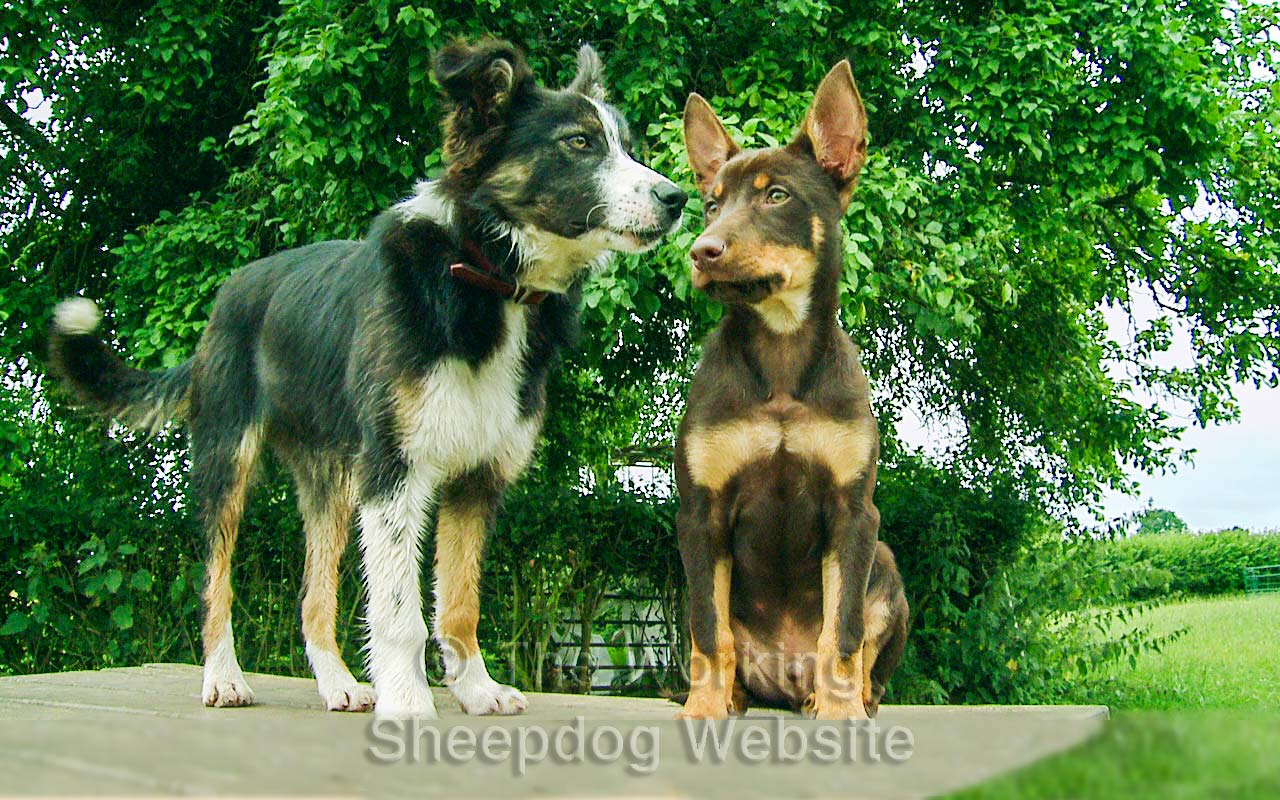 Collie Mossie and Kelpie Red on a picnic table