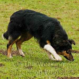 Young sheepdog sniffing the ground