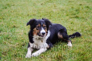 Young border collie sheepdog Reiver