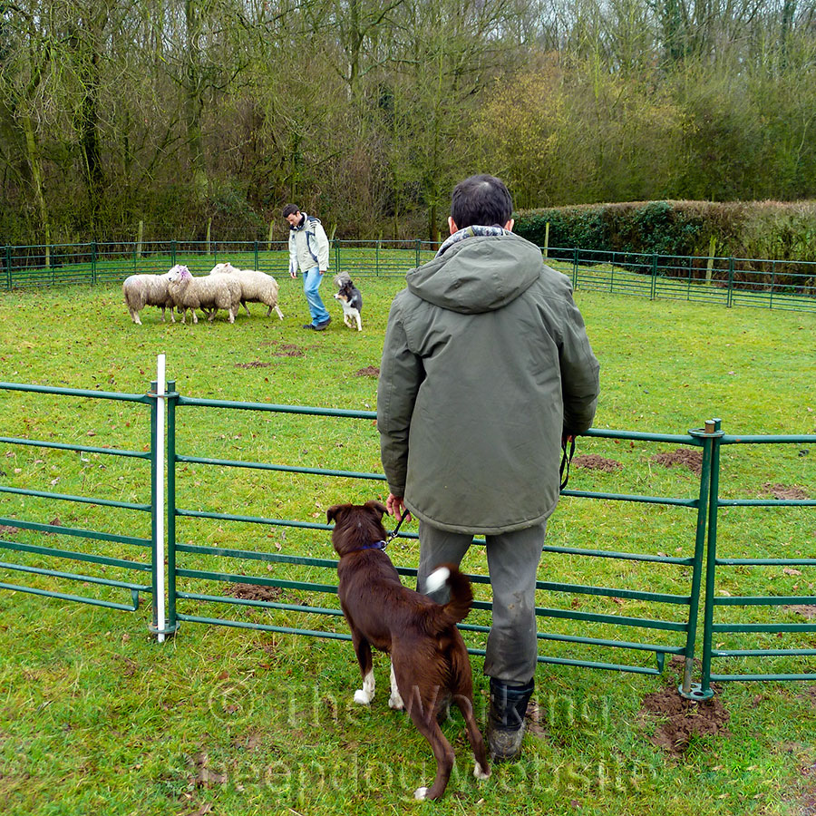 """Bob Lever and """"Max the Welsh"""" watch a sheepdog training session"""