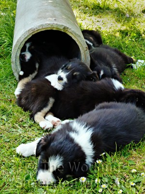 Border collie puppies asleep in a concrete pipe