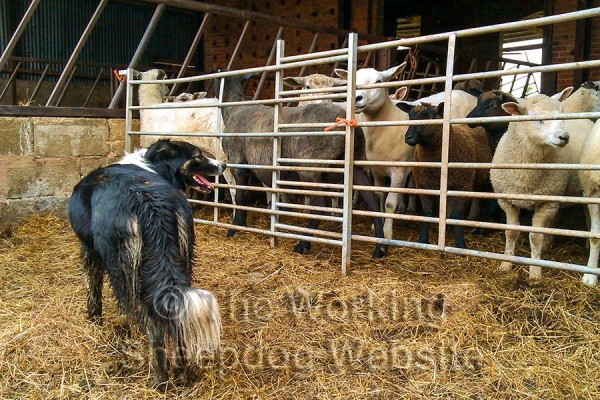 Sheepdog Carew standing in front of a shed full of sheep