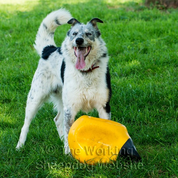 Trainee sheepdog Matt with a bouy he loves to play with