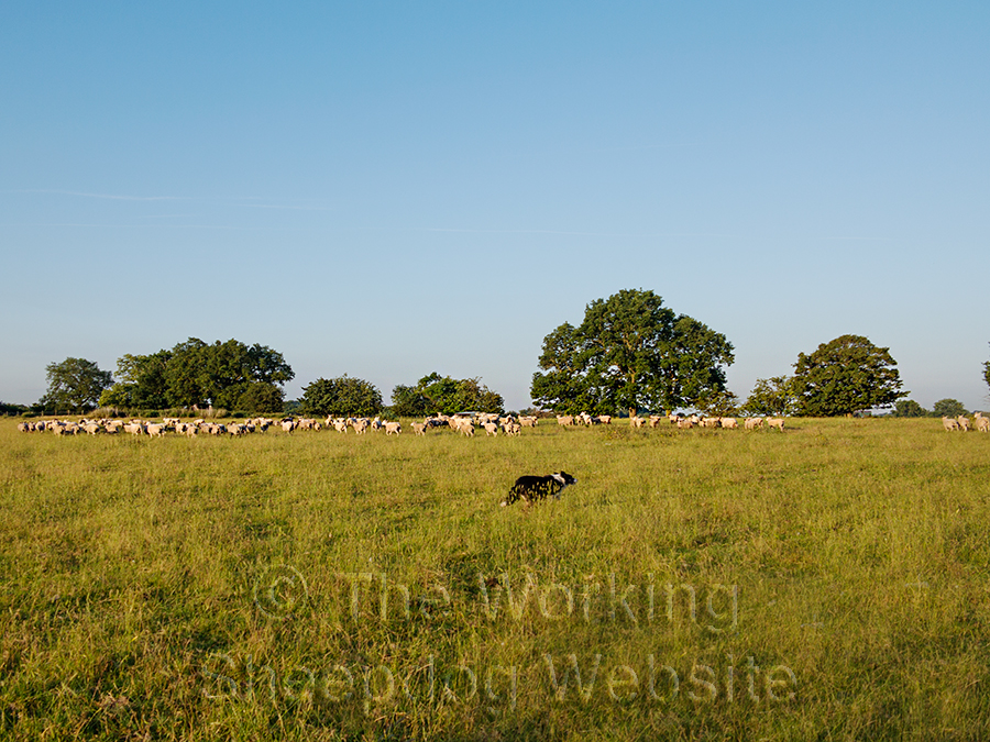 Kay gathering sheep in one of the fields