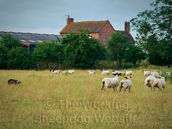 A ewe challenges Carew, while some others try to escape