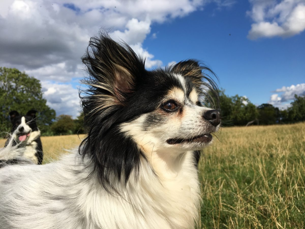 Close-up photo of Chester the Papillon x Chihuahua
