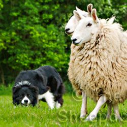 The Working Sheepdog Website