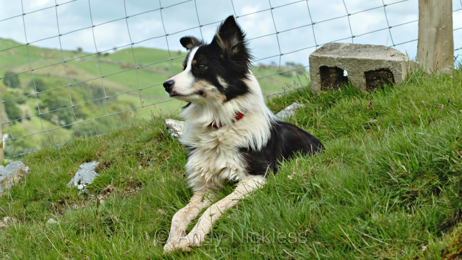 Closeup photo of Dot looking out over the Welsh mountains of Corwen