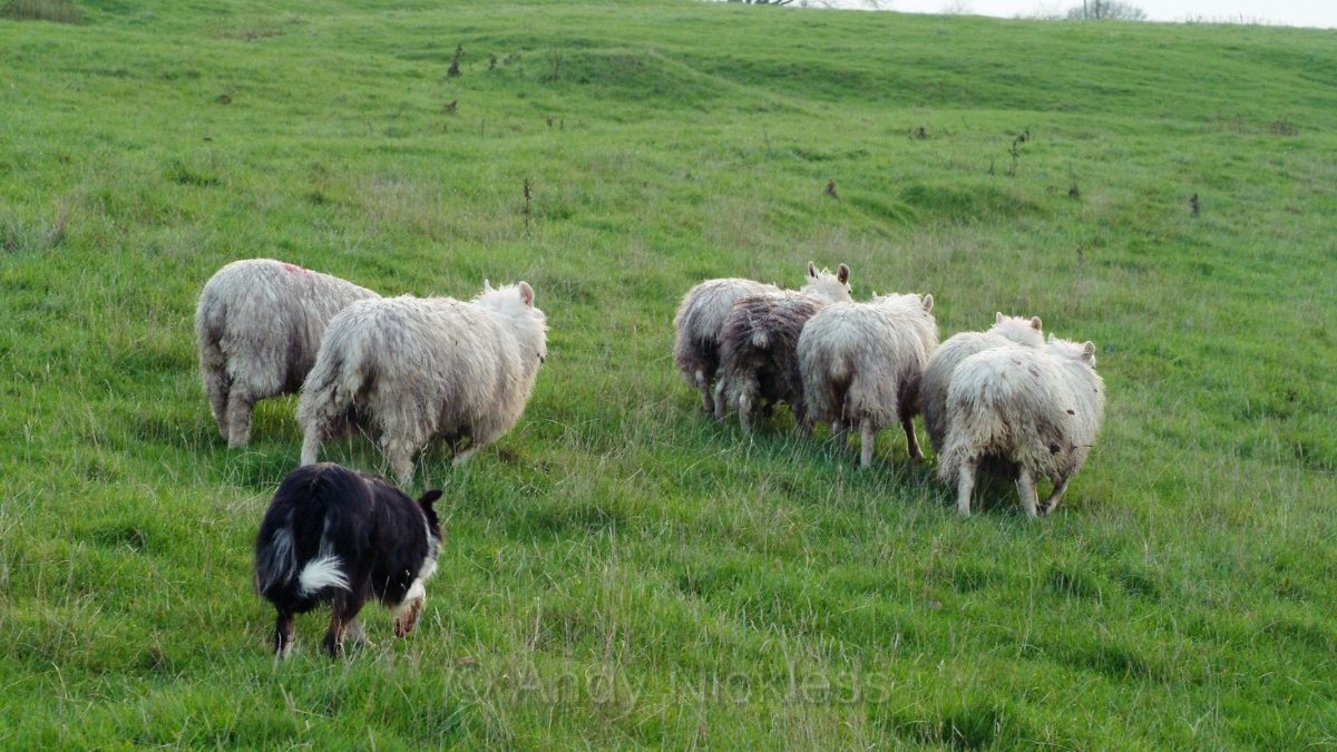 Photo of Dot calmly driving a bunch of sheep ahead of her