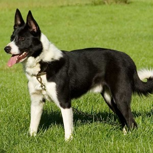 Strong looking smooth coated prick-eared collie at the ready