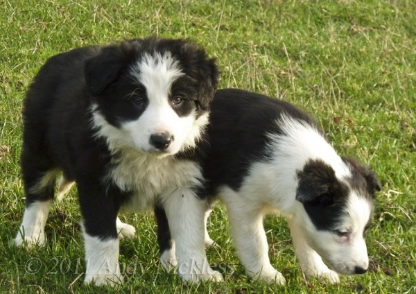 ISDS registered black and white sheepdog puppies