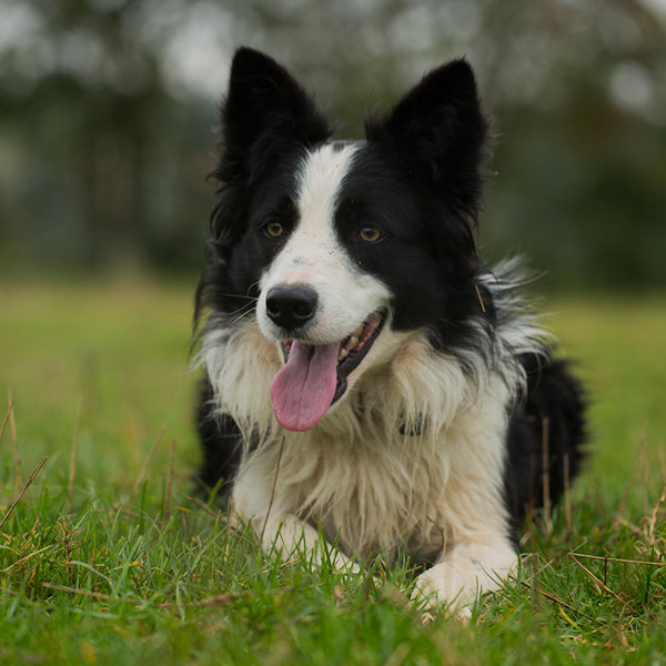 Part-trained sheepdog for sale