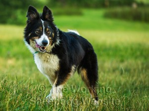 Rough coated tricolour female sheepdog, Nell