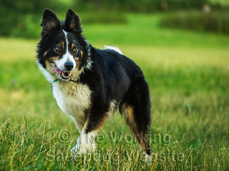 Nell is a rough coated tri-coloured female border collie sheepdog with psychological issues