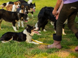 Socializing a nervous sheepdog - Nell submits to Gill