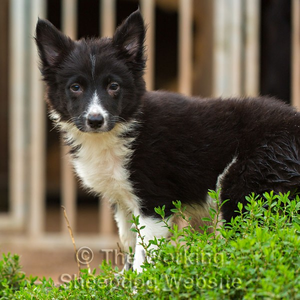 Black and white border collie x jack russell terrier puppy