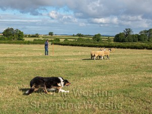 Sheepdog Oats brings the sheep around the post for Charlotte Russell - Evesham Sheepdog Trials 2013