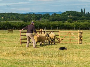 Adrian Hall and Gwen ease the sheep into the pen - Evesham Sheepdog Trials 2013
