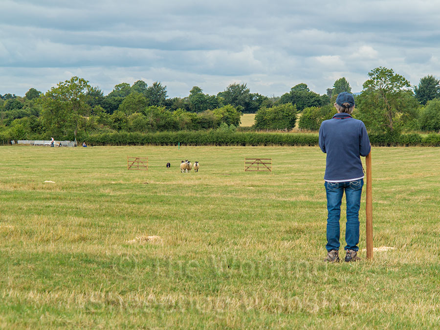 Bob brings the sheep neatly through the fetch gates for Charlotte Russell - Evesham Sheepdog Trials 2013
