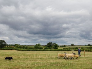 (Bobtail) Bob - Bob brings the sheep around the post for Charlotte Russell - Evesham Sheepdog Trials 2013