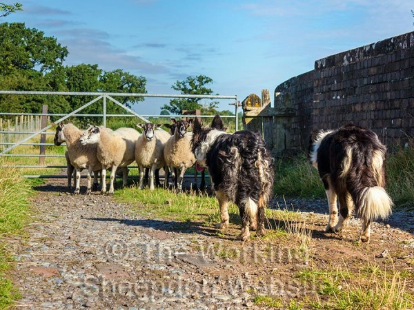 Sheepdogs Kay and Carew holding stubborn sheep at bay