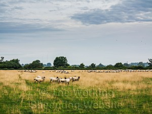 A good sized flock awaits gathering early in the morning