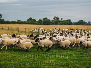 Sheepdog Ness brings the flock through the gateway