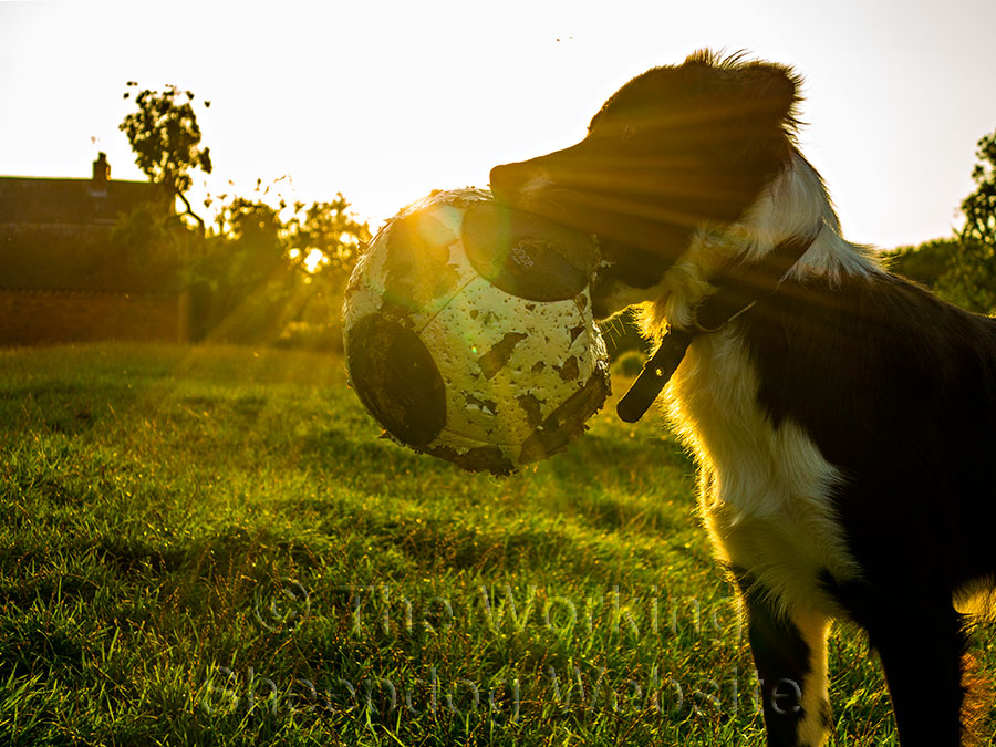 Young sheepdog Smudge holds a ball against the sunlight