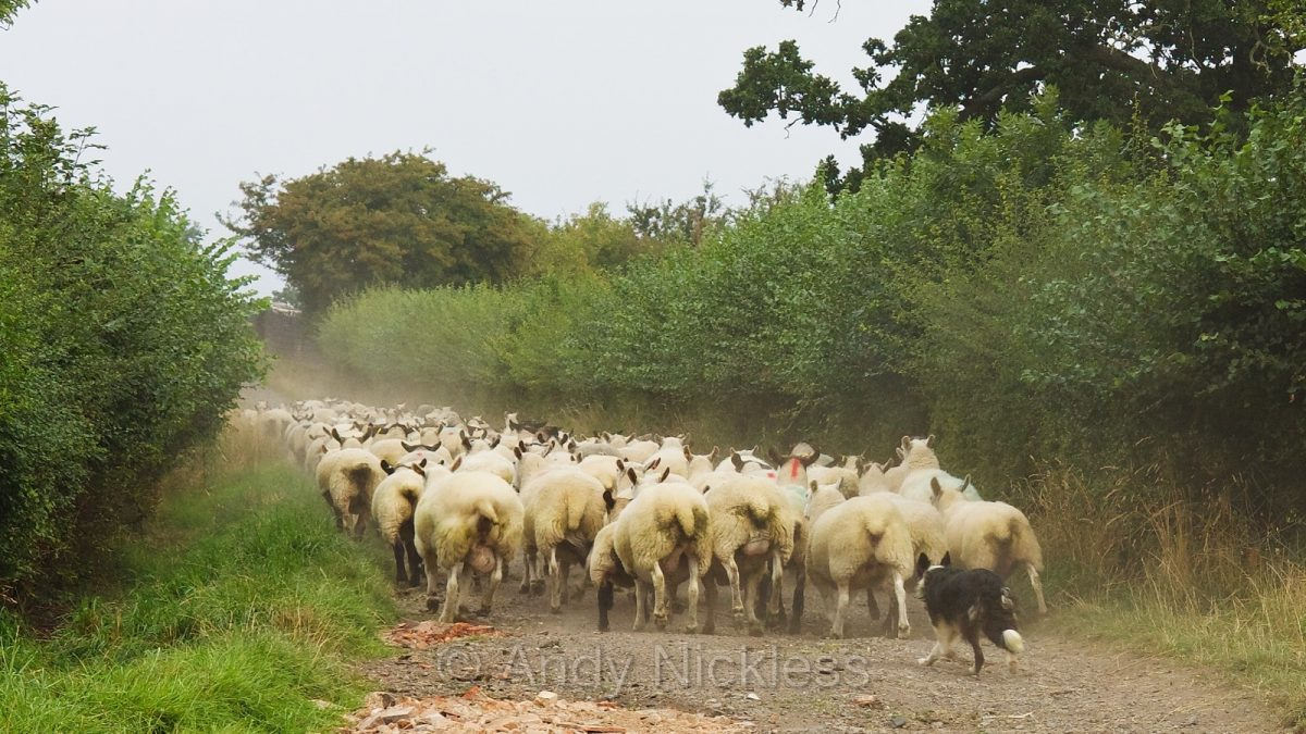 Photo of sheepdog Kay taking the sheep back to their field