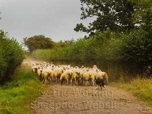 Kay takes the sheep back to the field