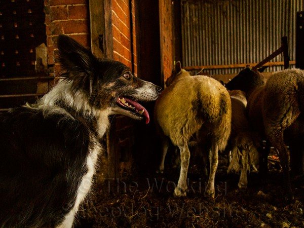 Photo of sheepdog Kay awaiting her next command in the sheep sorting pens