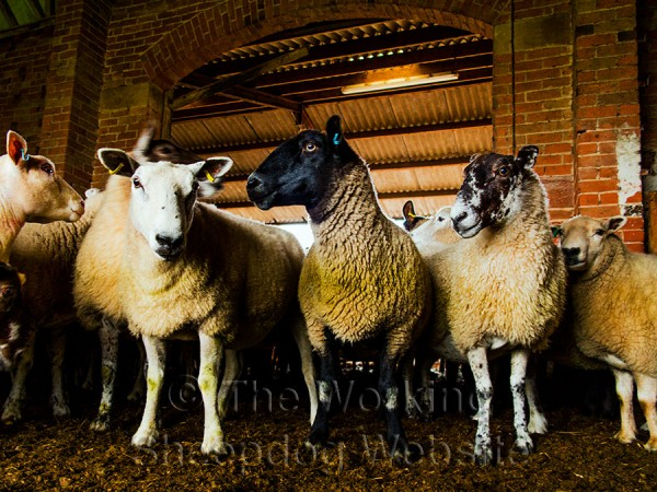 Close-up of sheep in the sorting pens