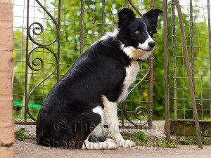 Potential sheepdog or pet - Sue