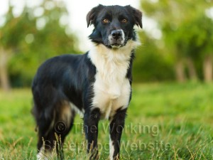 Trainee sheepdog with great potential - Smudge
