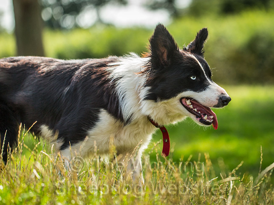 Sheepdog for sale - Bet