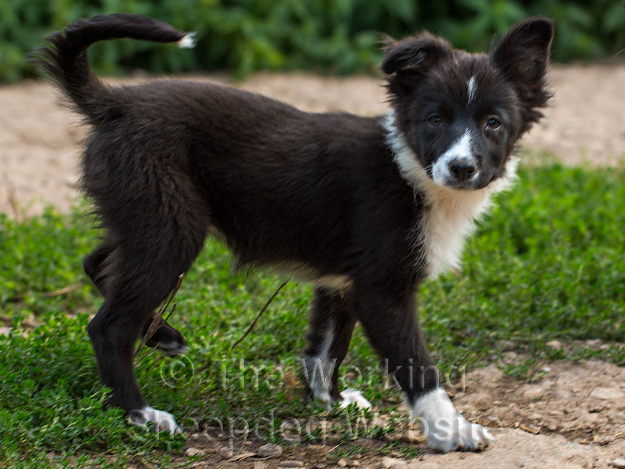 Jack Russell x Border Collie puppy Maeve