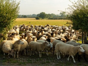 Carew brings the sheep through the gate