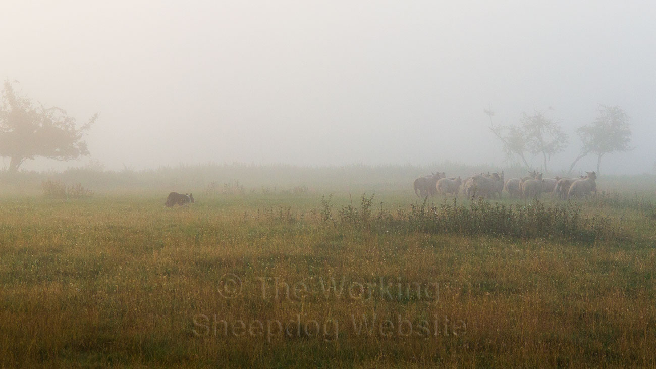 Sheepdog Kay gathering sheep in the mist