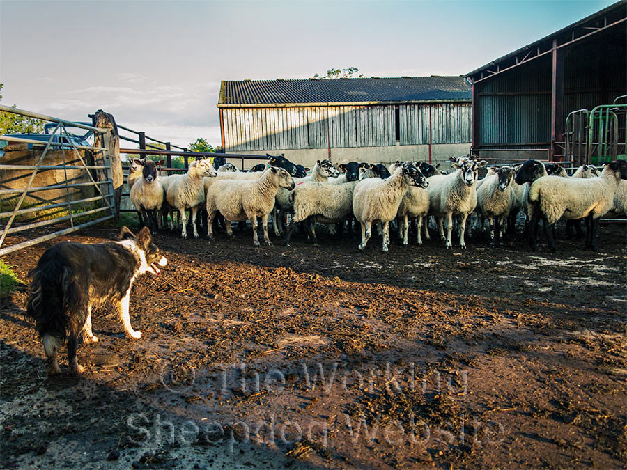 Photo of Kay as she waits patiently as the sheep move into the farm buildings