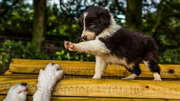 Puppy waving a paw at its mother's feet